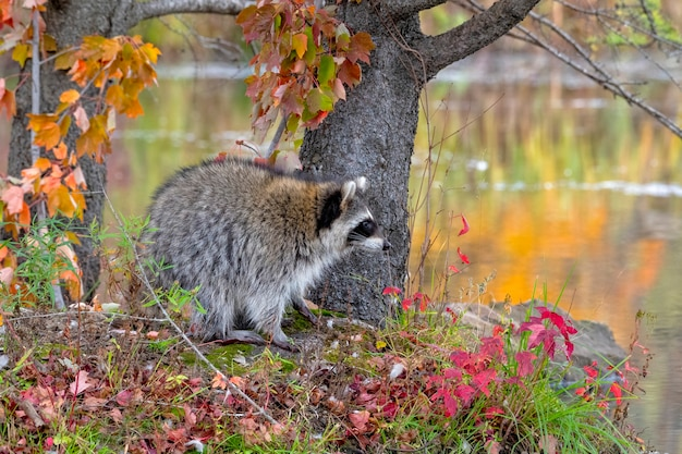 Raccoon si è fermato a shoreline con autumn reflections