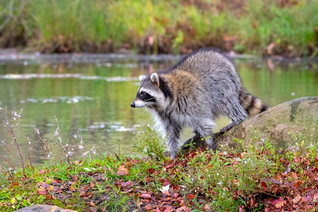 Raccoon sta sulla riva guardando sopra l'acqua