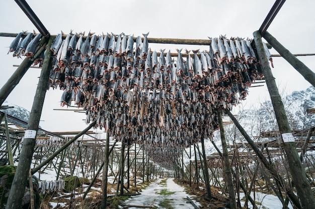 Rack pieni di merluzzo essiccato, lofoten, norvegia
