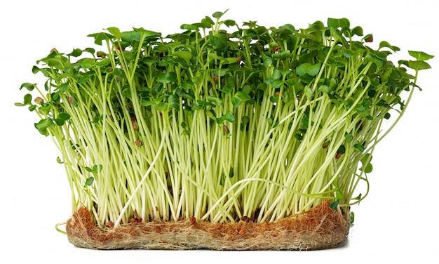 Micro germogli verdi del daikon del ravanello isolati su bianco