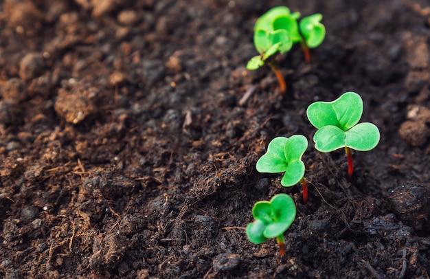 Crescita di ravanello. piantine di ravanello bambino in giardino