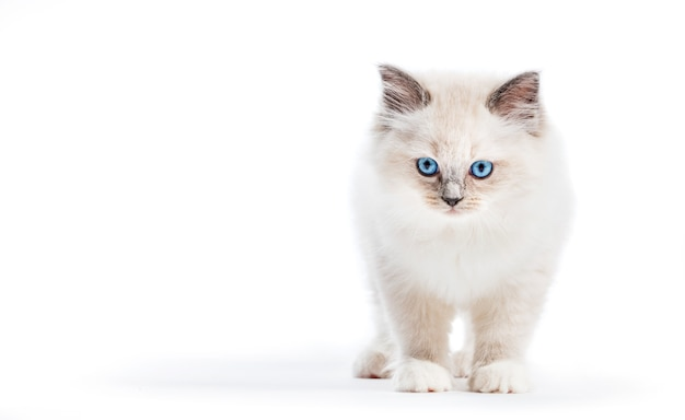 Gatto ragdoll, piccolo gattino ritratto su sfondo bianco