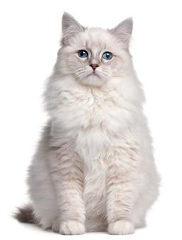 Gattino ragdoll, 5 mesi,