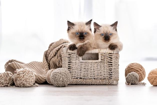Gattino ragdoll nel cestino con filato