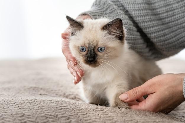 Gattino ragdoll nelle mani del proprietario