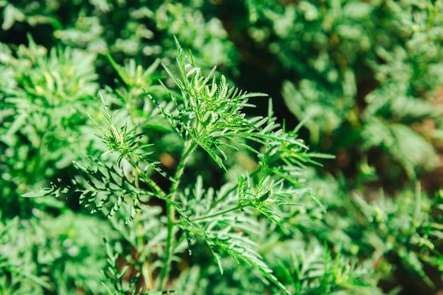 Allergene vegetale dell'ambrosia, erba di prato tossica. cespuglio di ambrosia in fiore. allergia all'ambrosia ambrosia. il polline in fiore artemisiifolia è un allergene pericoloso nel prato.