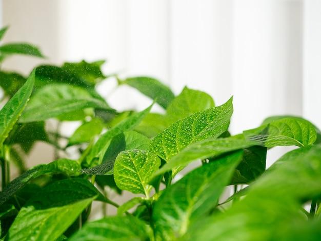 Gocce di pioggia sul primo piano fresco delle foglie verdi, copyspace. irrigazione di piantine e piante, irrigazione e cura.