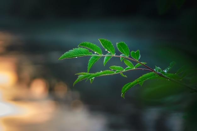 Gocce di pioggia su foglie verdi sullo sfondo del tramonto.
