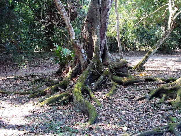 La foresta pluviale a tikal, in guatemala