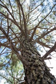 Ramas secas de pino y tronco