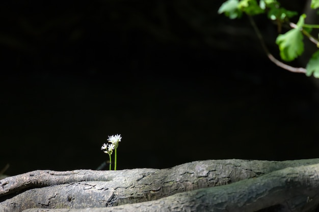 Ramsons o aglio selvatico (allium ursinum) che fiorisce in primavera vicino a east grinstead