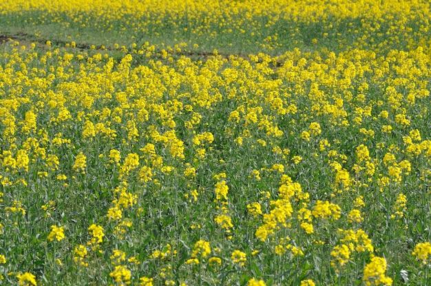 Un campo di colza in bretagna