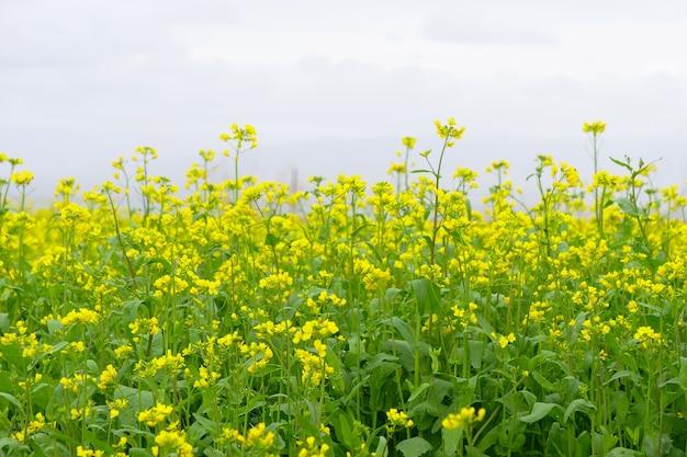 Campo di fiori di stupro e cielo nuvoloso nella provincia di qinghai in cina