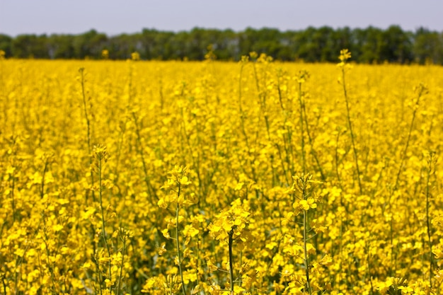 Stupro, campo di fiori gialli