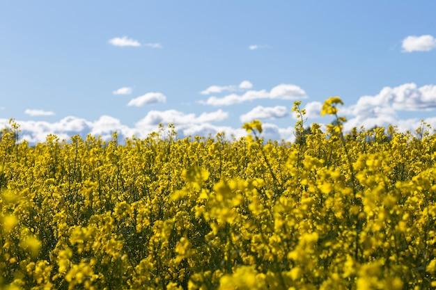Campo di colza e cielo azzurro con nuvole in primavera