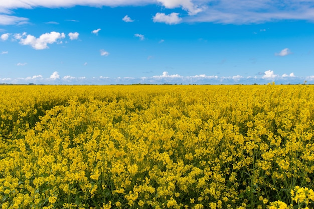 Campo di colza sotto un cielo blu aperto