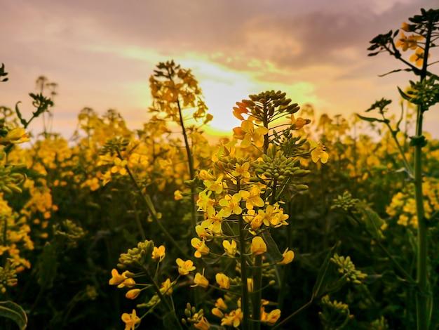 I campi di colza fiori gialli alla luce del tramonto