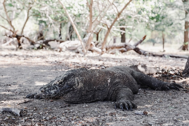 Un raro drago di komodo che giace a terra sull'isola di komodo labuan bajo indonesia