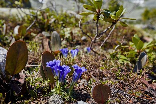 Rare piante e fiori di montagna crescono vicino al ruscello di montagna in una limpida giornata di sole. incredibile flora di montagna, piante elencate nel libro rosso