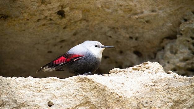Raro wallcreeper con piumaggio grigio e rosso seduto sulla cresta della parete di montagna