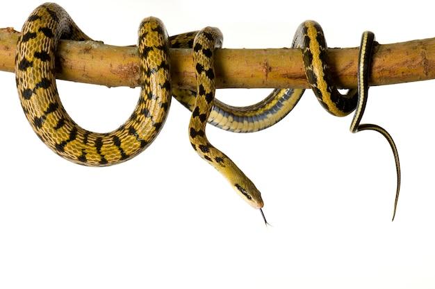 Serpente di ratto davanti a uno sfondo bianco