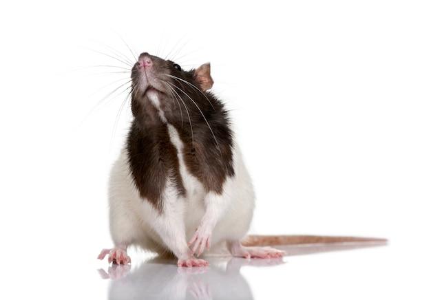 Ratto, in piedi isolato Foto Premium