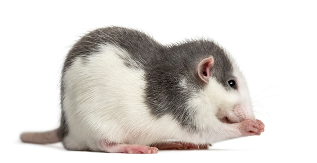 Lavaggio del ratto stesso, isolato su bianco