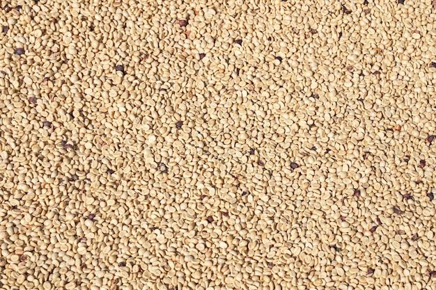 Chicchi di caffè crudi naturali esposti alla luce solare su un setaccio