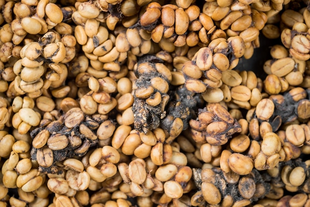 Chicchi di caffè crudo kopi luwak
