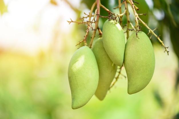 Mango crudo che appende sull'albero con il fondo della foglia nel frutteto del giardino della frutta di estate, albero di mango verde