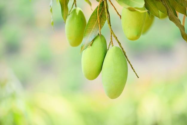 Mango crudo che appende sull'albero con la parete della foglia nel frutteto del giardino di frutta di estate - albero di mango verde