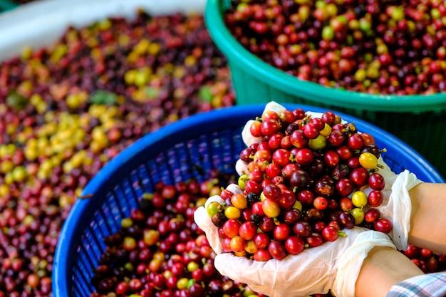 Chicchi di caffè rossi e gialli crudi nelle mani del coltivatore
