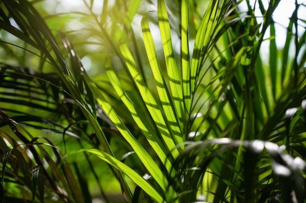 Raggi del sole attraverso le foglie di palma. . sfondo naturale. il mondo della bellezza.