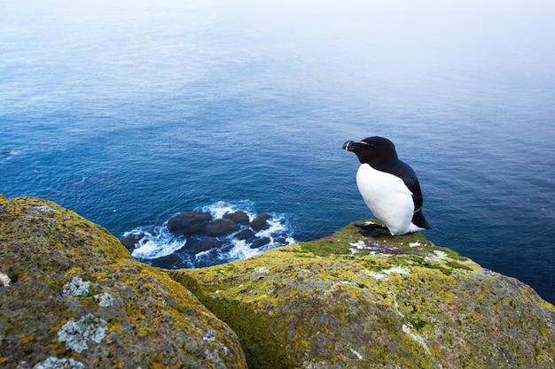 Razorbill seduto su una scogliera rocciosa con il mare sullo sfondo