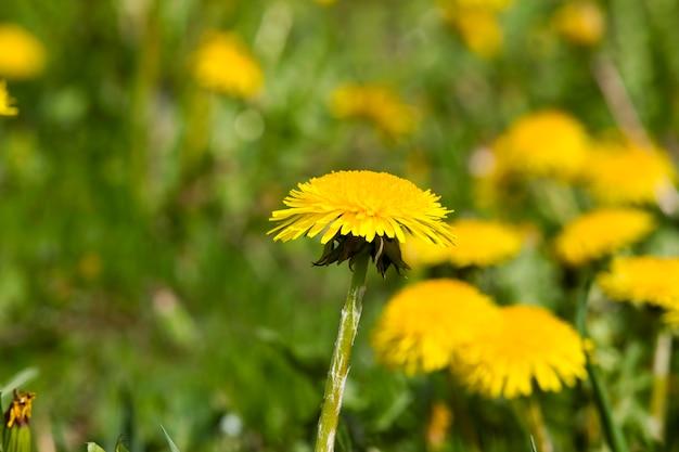 Denti di leone gialli selvaggi reali belli nel campo con erba verde nel primo piano del campo di primavera, fiori di prato