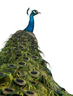 Retrovisione di un pavone indiano maschio