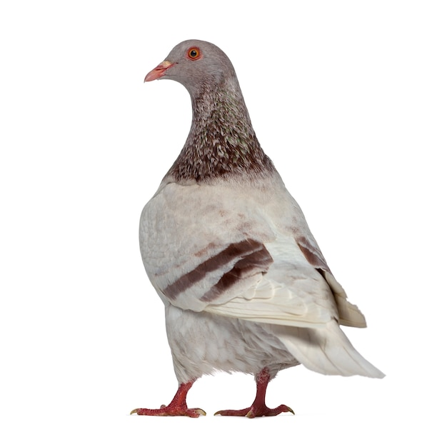 Vista posteriore di un piccione texano isolato su bianco