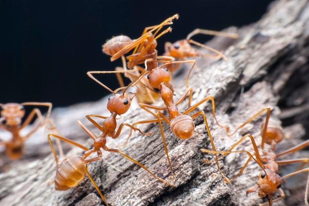 Formica rossa che trasporta cibo.