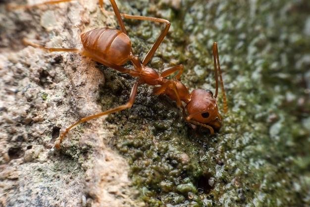 Acqua potabile della formica rossa