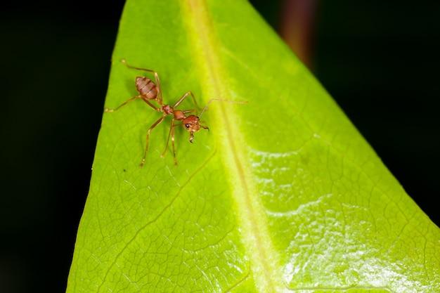 Formica rossa su foglia fresca in natura