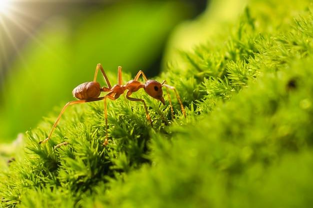Formica rossa sull'erba verde con la luce del sole al mattino