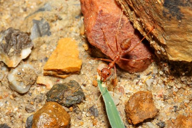 La formica rossa che cammina sul pavimento di sabbia