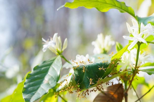 Formiche rosse sulla pianta di caffè arabica.