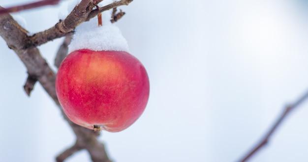 Mela rossa, ricoperta di neve, su un albero in inverno. spazio libero per il testo. panorama_