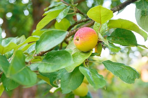 Maturazione della mela rossa su un ramo, frutta su un ramo