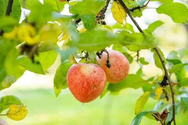 Mele rosse su un ramo con gocce di pioggia, pronte per essere raccolte mele biologiche fresche e succose, raccolte