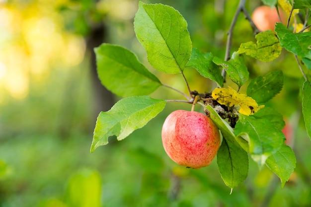 Mele rosse su un ramo con gocce di pioggia, pronte per essere raccolte. messa a fuoco selettiva. mele biologiche fresche e succose pronte per la raccolta nel frutteto della piantagione di mele.