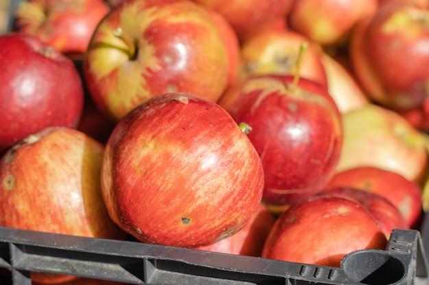 Mele rosse in cestino di plastica. concetto di raccolta di mele. foto ravvicinata
