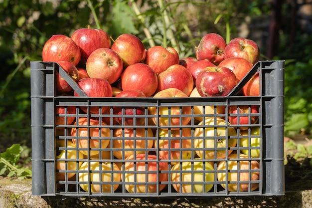 Mele rosse in cestino di plastica in meleto. concetto di raccolta delle mele