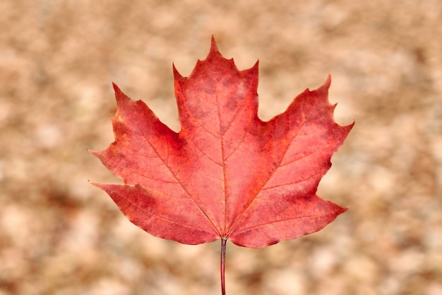 Foglia di autunno rosso su sfondo giallo fogliame. fogliame caduto colorato, simbolo del cambio di stagione. design pattern di sfondo per uso stagionale.